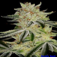 Sin City Seeds Blue Power Feminized