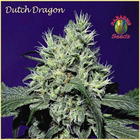 Paradise  Seeds Dutch Dragon Regular