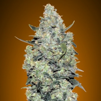 Auto Critical Mass - Feminized - Advanced Seeds