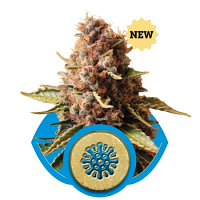 Royal Queen Seeds Euphoria Feminized