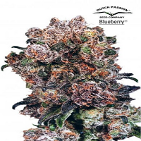 Dutch Passion Seeds Blueberry Feminized