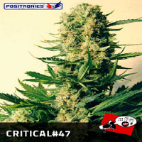 Positronics Seeds Critical #47 Feminized (PICK N MIX)