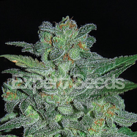 Expert Seeds Northern Lights Feminized