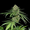 Dinafem Seeds Critical + Feminized (PICK N MIX)