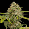 Dinafem Seeds OG Kush Feminised (PICK N MIX)