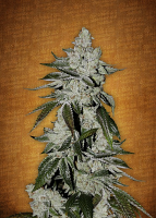 FastBuds Seeds Girl Scout Cookies Auto Feminized (PICK N MIX)