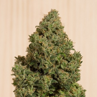 Humboldt Seed Organisation Blue Dream CBD Feminized