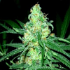 BlimBurn Seeds Original Clone Feminized