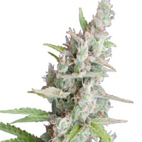 Seedmakers Seeds AK Auto Feminized