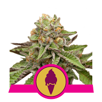Royal Queen Seeds Green Gelato Feminized (PICK N MIX)