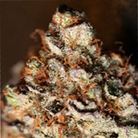Sin City Seeds Sin Mint Cookies Feminized