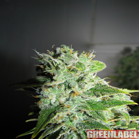 Green Label Seeds Frosty Kush Feminised