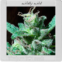 Blimburn Seeds Blimburn Bcn Range Wildly White Feminized