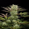 Dinafem Seeds Deep Cheese Feminized