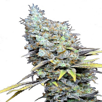 CBD Botanic Seeds CBD Big Bud Super Skunk Feminized - LIMITED EDITION