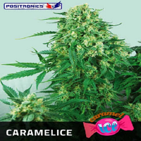 Positronics Seeds Caramel Ice Feminized (PICK N MIX)
