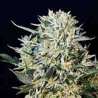 Grass-O-Matic Sugar GOM Auto Feminized