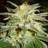 World of Seeds Legends Collection New York 47 Feminized