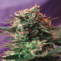 Sweet Seeds Jack 47 F1 Fast Version Feminized