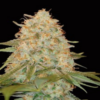 DNA Genetics Seeds LA Chocolat Feminized