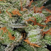 T.H.Seeds Auto Bubblegum Feminized