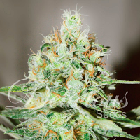 Delicious Seeds Jägg Kush Feminized
