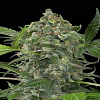Dinafem Seeds White Cheese Auto Feminized