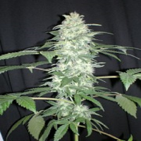 Seedism Seeds Killa-Watt Feminized