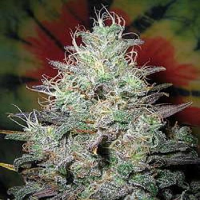 British Columbia Seeds Big Blue Regular