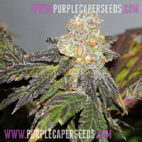 Purple Caper Seeds Girl Scout Cookies F2 Regular