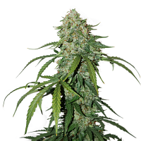 Seed Stockers Seeds CBD 1:1 Silver Lime Haze Feminized