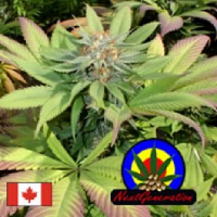 Next Generation Seeds Blueberry Punch Regular