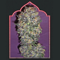 OO Seeds Chocolate Kush Feminized