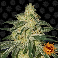 Barney's Farm Seeds Afghan Hash Plant Regular