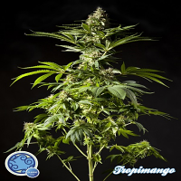 Philosopher Seeds Tropimango Feminized