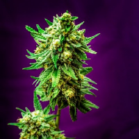 Homegrown Natural Wonders Seeds Micky Kush Regular