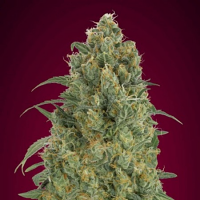 Auto Strawberry Gum - Feminized - Advanced Seeds (PICK N MIX)