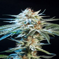 Elemental Seeds Honey Bananas Feminized