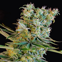 Genehtik Seeds Amnesia Bilbo Feminised (PICK N MIX)
