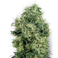 White Label Seed Company White Gold Feminised