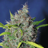 Sagarmatha Seeds Bubbleberry Regular