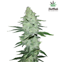 FastBuds Seeds Six Shooter Auto Feminised
