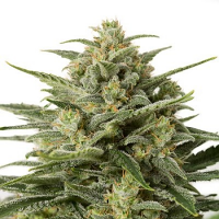 Dinafem Seeds White Widow XXL Auto Feminized