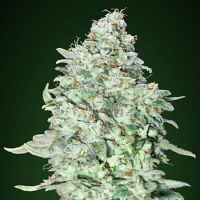 O.G. Kush S.F.V. - Feminized - Advanced Seeds