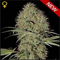 Green House Seeds Super Bud Auto Feminized