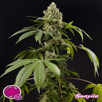 Philosopher Seeds Guayita Feminized