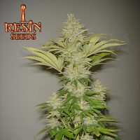 Resin Seeds Bubblicious Feminized