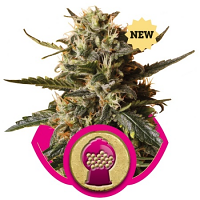 Royal Queen Seeds Bubble Gum XL Feminized
