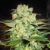 World of Seeds Medical Collection Afghan Kush x White Widow Feminized