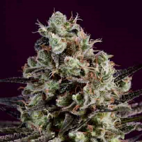 SuperCBDx Seeds Royal Purple Kush x SCBDx Feminized (PICK N MIX)